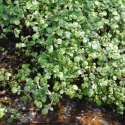 Rorippa nasturtium-aquaticum (Brassicaceae), Vaalbankspruit, Mpumalanga, RSA