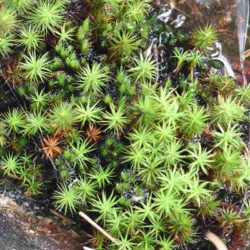 Sphagnum sp. (Sphagnaceae), Joubertina, Western Cape, RSA