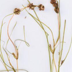 Stuckenia pectinata (Potamogetonaceae), Sundays River, Port Elizabeth, RSA