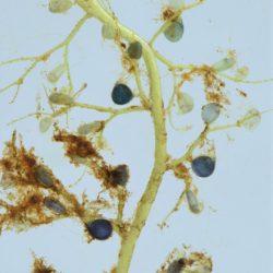 Utricularia gibba (Lentibulariaceae), Nelspruit, Mpumalanga, RSA (1)