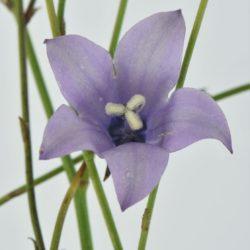 Wahlenbergia undulata ((Campanulaceae), White River, Mpumalanga, RSA