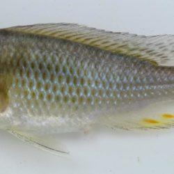 Astatotilapis calliptera (Cichlidae), Cabo Delgado, Mozambique