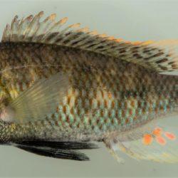 Cheta brevis (Cichlidae), Lomati R, Swaziland