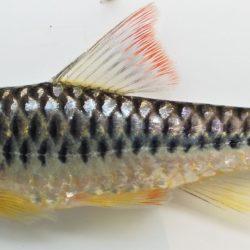 Clypeobarbus congicus (Cyprinidae), Bas Congo, DRC