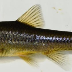 Enteromius anoplus (Cyprinidae), Mpumalanga, RSA