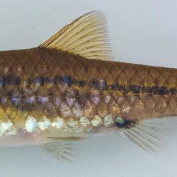 Enteromius brevipinnis (Cyprinidae), Lomati R, Mpumalanga, RSA