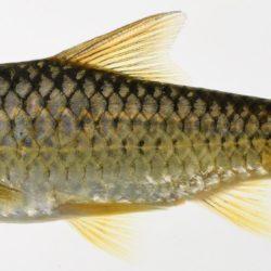 Enteromius crocodilensis (Cyprinidae), Crocodile R., Mpumalanga