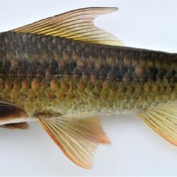 Labeo cylindricus (Cyprinidae), Ngwavuma R., Swaziland