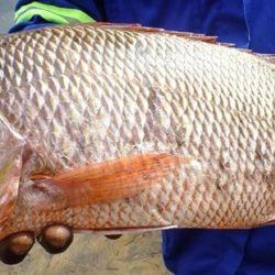 Lutjanus argentimaculatus (Lutjanidae), Govuro Estuary, Mozambique