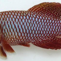 Nothobranchius kadleci (Nothobranchiidae), Inhasorro, Mozambique