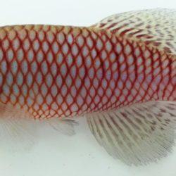 Nothobranchius makondorum (Nothobranchiidae), Cabo Delgado, Mozambique