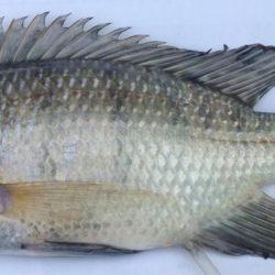 Oreochromis esculentus female (Cichlidae), Lake Rukwa, Tanzania