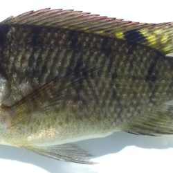 Oreochromis placidus (Cichlidae), Inhassoro, Mozambique