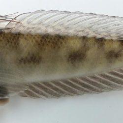 Oxyurichthys ophthalmonema (Gobiidae), Cabo Delgado, Mozambique (Copy)