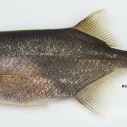 Petrocephalus wesselsi (Mormyridae), Lomati R, Mpumalanga RSA