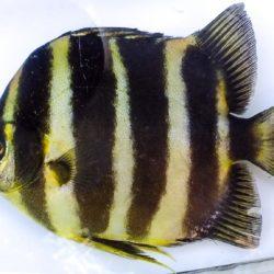 Scatophagus tetracanthus (Scatophagidae), Govuro R, Mozambique