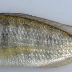 Tramitichromis cf lituris (Cichlidae), Lake Malawi